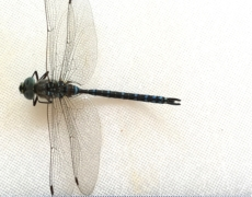 Protected: Canada Darner Dragonfly